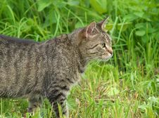 Free Hunting Cat Stock Image - 21425771