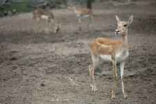 Free Baby Brown Deer In Safari Stock Photos - 21426483