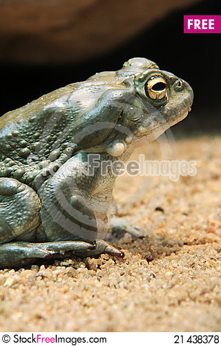 Free Toad Royalty Free Stock Photos - 21438378