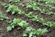 Free Potato Field Stock Photos - 21432263
