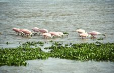 Free Flock Of Roseate Spoonbills Trawling The Water For Royalty Free Stock Photos - 21436388