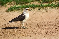 Free Yellow-headed Caracara Standing On The Shore Stock Photos - 21436423