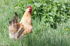 Free Rooster On The Walk Royalty Free Stock Images - 21438099