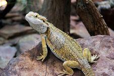 Free Chameleon Stock Images - 21438354