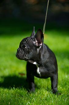 Free French Bulldog Puppy Royalty Free Stock Photography - 21438377