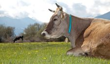 Cow Lying On Meadow Royalty Free Stock Photography