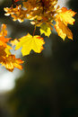 Free Autumn Leaves Royalty Free Stock Photography - 21441337