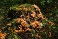 Free Fall Mushrooms Royalty Free Stock Images - 21443499