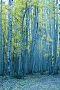 Free Aspens Stand Tall Royalty Free Stock Images - 21443639