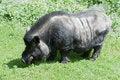 Free Vietnamese Pig Stock Photos - 21444453