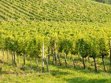 Free Vineyard Stock Photo - 21440290