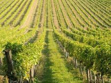 Free Vineyard Stock Image - 21440301
