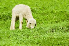 Free Lamb Stock Images - 21440544