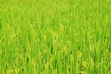 Free Harvest Rice Field Royalty Free Stock Photo - 21443135