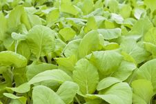 Free Chinese Flowering Cabbage Stock Image - 21443141