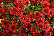 Free Wet Red Chrysanthemums Royalty Free Stock Photos - 21443538
