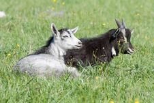 Free Two Goats Resting Stock Photo - 21444210