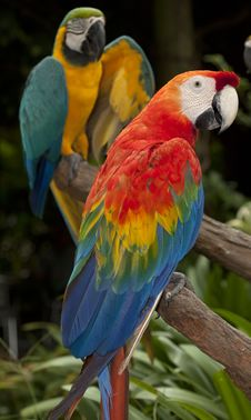Free The Multi Colored Parrot Stock Photos - 21444443