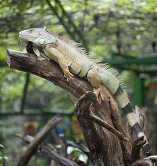 Free Yellow Iguana Relax On The Rain Stock Image - 21444621