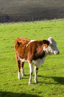 Free Young Hereford Bull Royalty Free Stock Photo - 21446585