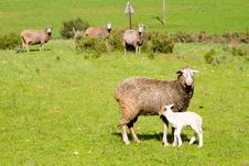Free Rural Landscape With Sheep Stock Photos - 21446673