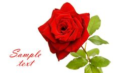 Free Red Rose With Space For Text Royalty Free Stock Photography - 21451467