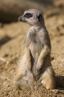 Free Meerkat Stock Photo - 21454550