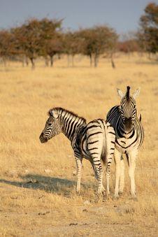Free Herd Of Burchells Zebras In Etosha Wildpark Royalty Free Stock Photos - 21458328