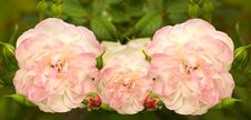 Free Soft Pink Rose Flowers In Spring Royalty Free Stock Images - 21458989