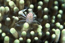 Pinhead Crab Stock Photography