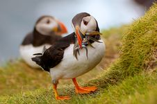 Free Atlantic Puffin Returning From Fishing Trip Royalty Free Stock Images - 21462269