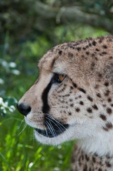 Free Cheetah Profile Stock Image - 21462641