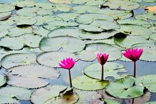 Free A Pink Water Lily Royalty Free Stock Image - 21463756