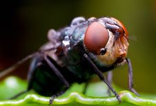 Free House Fly Stock Photo - 21463770