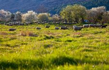 Free Green Pasture Sheep Stock Photography - 21466612