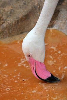 Free Flamingo Stock Images - 21466774