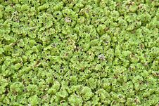 Free Duckweed Royalty Free Stock Image - 21466986