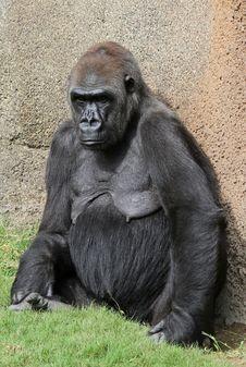 Free Gorilla Royalty Free Stock Image - 21467406