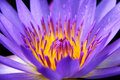 Free Violet Water Lily Royalty Free Stock Photography - 21478567