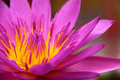 Free Colorful Pink Water Lily Stock Photo - 21479910
