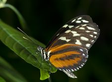 Free Tiger Longwing Butterfly Royalty Free Stock Photography - 21471827
