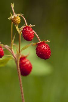 Wild Strawberry Stock Photo