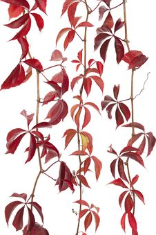 Free Boston Ivy Stock Images - 21477044
