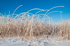 Free Reed In Frost Royalty Free Stock Photography - 21479407