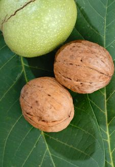 Free Walnuts Stock Images - 21480534