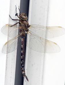 Free Dragonfly - Genus Didymops Stock Photos - 21486193