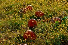 Free Fall Pumpkin Gourds Royalty Free Stock Images - 21487149