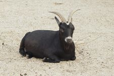 Black Goat Royalty Free Stock Images