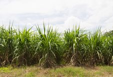 Sugar Cane Fields Royalty Free Stock Photos