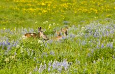 Free Mother Deer With Twin Fawns Stock Photos - 21493573